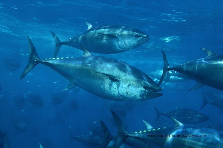 Pacific bluefin tuna in trouble, scientists say