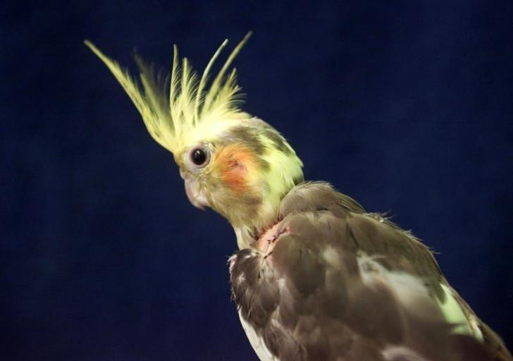 Grandma killed by 'vicious' pet cockatiel