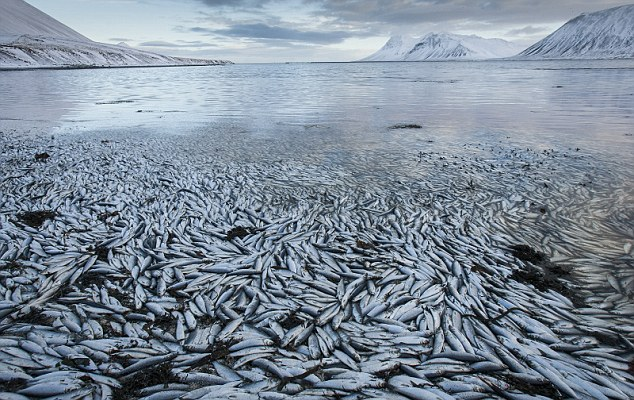The herring apocalypse: Fish worth millions in exports die in Icelandic lake