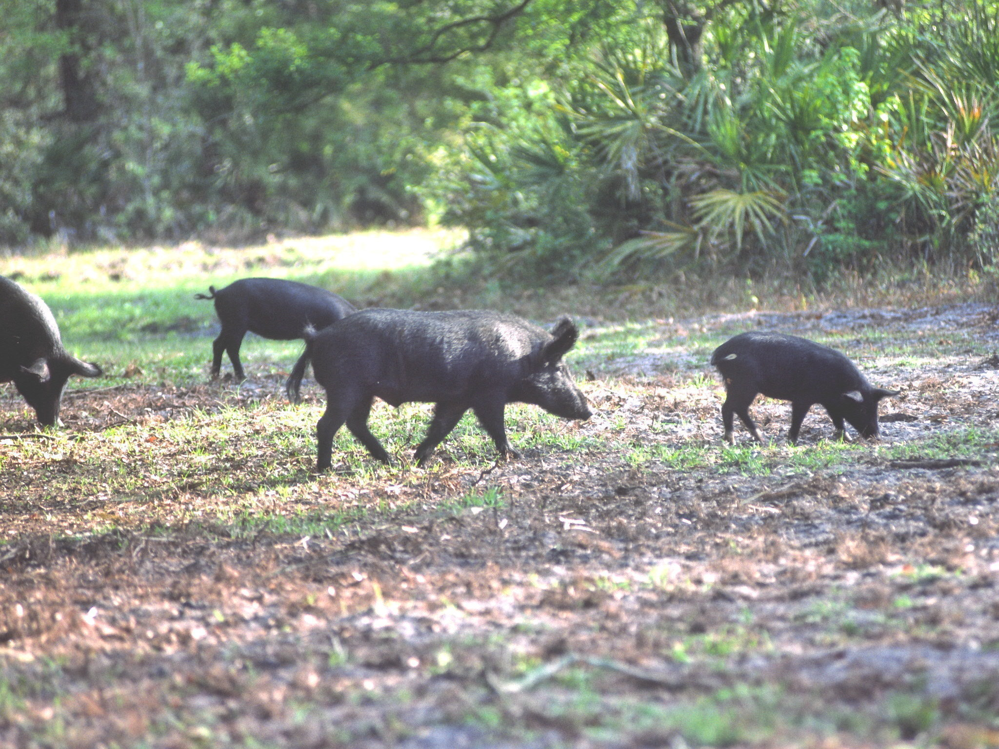 Plague of wild pigs has U.S. authorities squealing