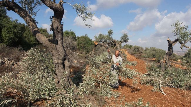 Illegal Israeli settlers destroy olive trees in West Bank with impunity