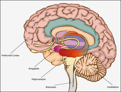 hormones hysterectomy and the hippocampus health where is the amygdala located #5