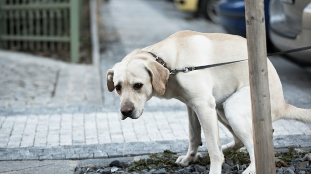 Dogs poop in line with Earth's magnetic field, says study