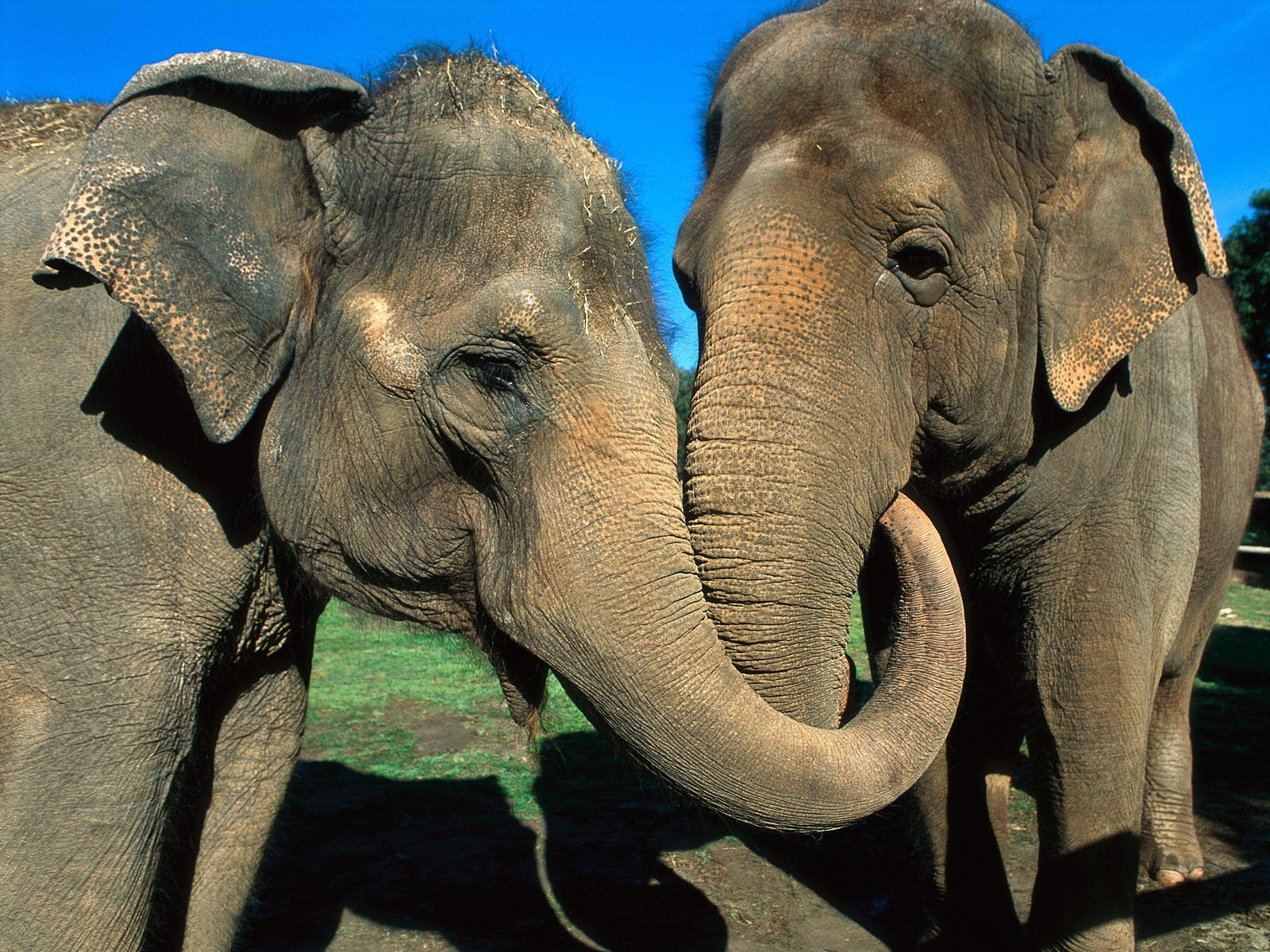 Two elephants reunited after more than 20 years -- Don't ... - photo#8
