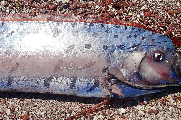 Recently filmed giant oarfish washes up dead on Mexican ...
