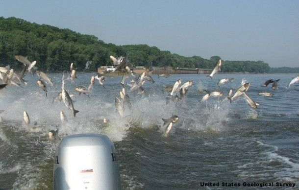 Flying asian video carp