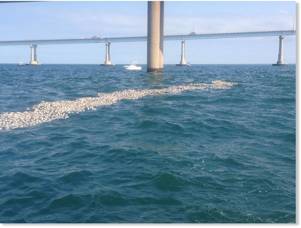 Thousands of dead fish found floating in chesapeake bay for Fishing chesapeake bay